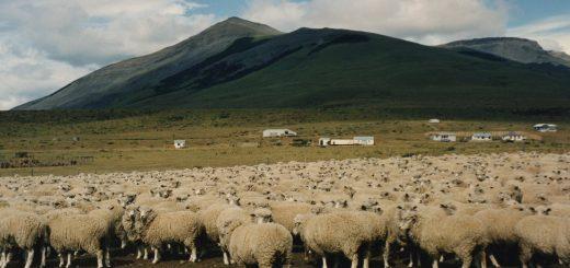 Sheep,_Torres_del_Paine